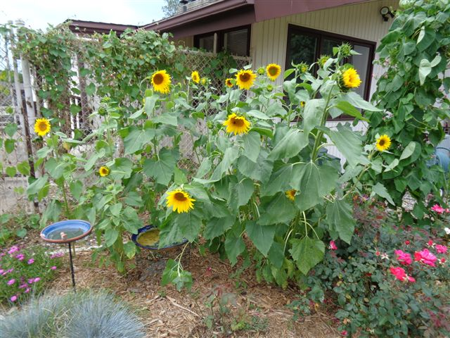Superior Sunflower Garden Ideas Carol S Yard