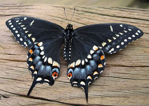 Black Swallow Tail Butterfly (Papilio Polyxenes)